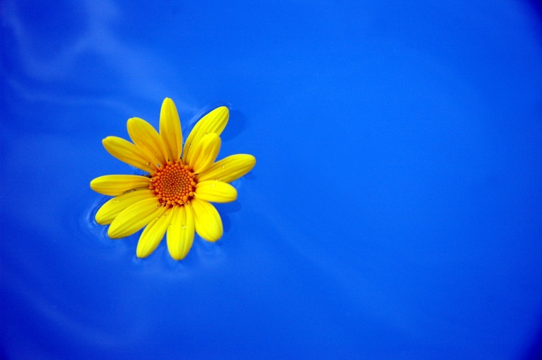 A yellow dandelion floats in blue water with a ripple effect.